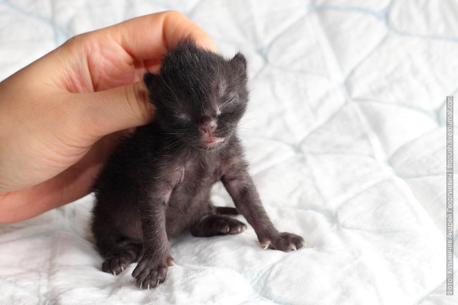 котенок Бомбейской кошки в Москве продажа