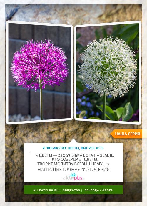 Я люблю все цветы, выпуск 176 | Аллиум «Purple Sensation», «Mount Everest» и «Moly».