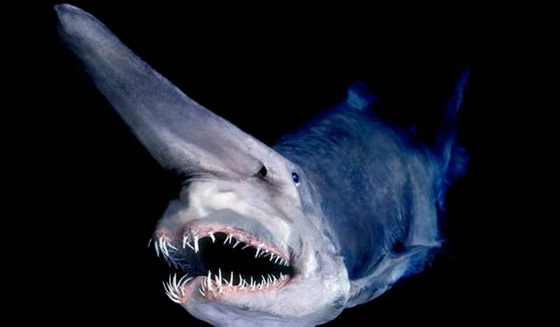 16. Акула-домовой ( flickr.com ) В общей сложности науке известны лишь 45 экземпляров этой акулы, вы