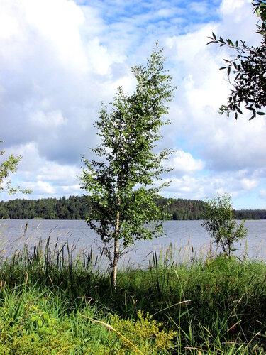 Берёзка у озера