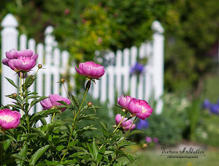 Пионы-Мои цветы в начале июня_71A2634_Viktoria-Mullin-crop