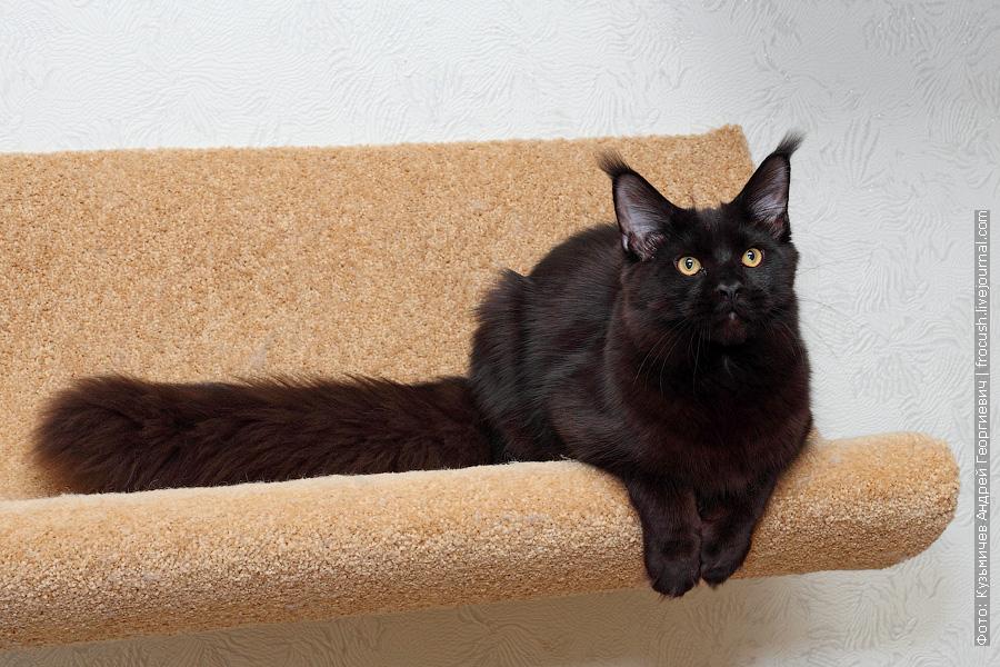 черный кот мейн кун из питомника в Москве