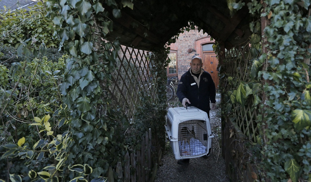 Tim Rowlands curator of mammals at Chester Zoo carries a baby Dik-dik to his car in Chester