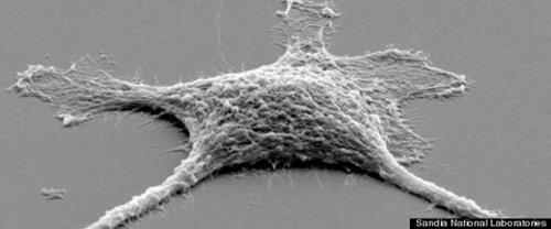 Американские ученые доложили о создании зомби-клеток