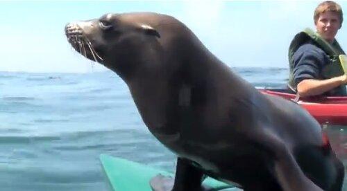 Морской лев - знакомство на каяке