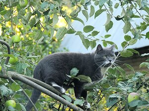 Кошка Белисимо