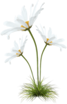 camomile (4).png