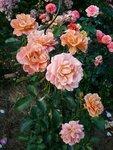 розы по  именам