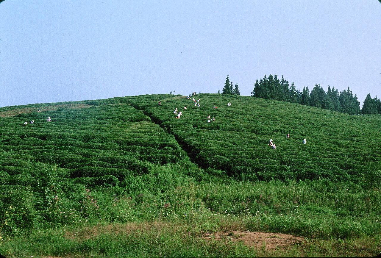 По дороге в Гори. Сбор чая в Колхиде недалеко от Ачибара