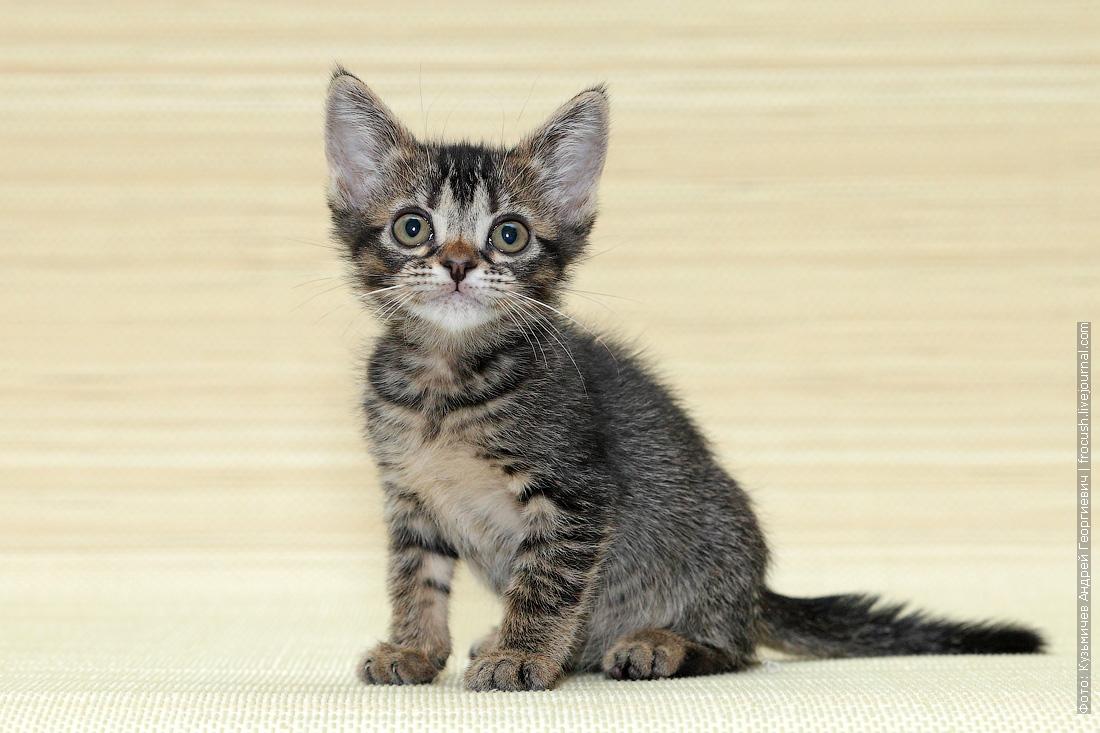 Бомбеи нетрадиционных окрасов кот
