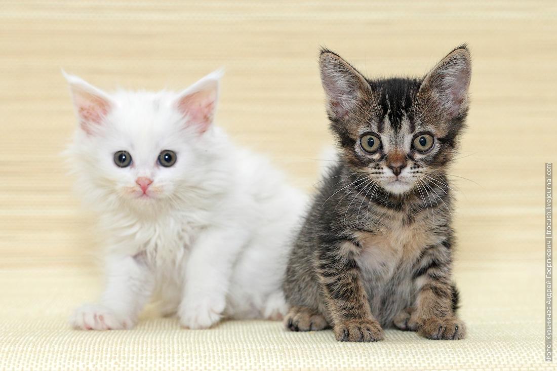котята фото Белая девица Мейн-кун Старлайт и Бомбейский мальчик нетрадиционного окраса Клонтарф