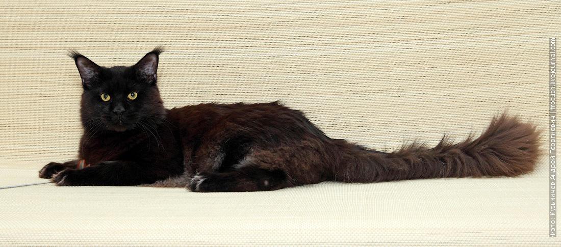 отдам бесплатно в совладение кота Мейн-куна