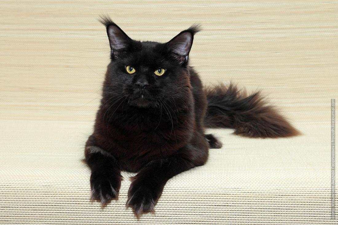 бесплатно кот Мейн-кун в совладение
