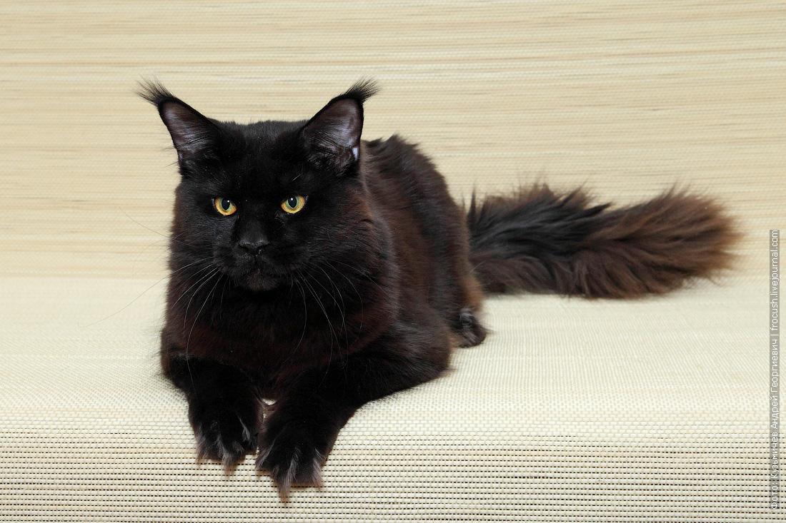 кот Мейн-кун в совладение