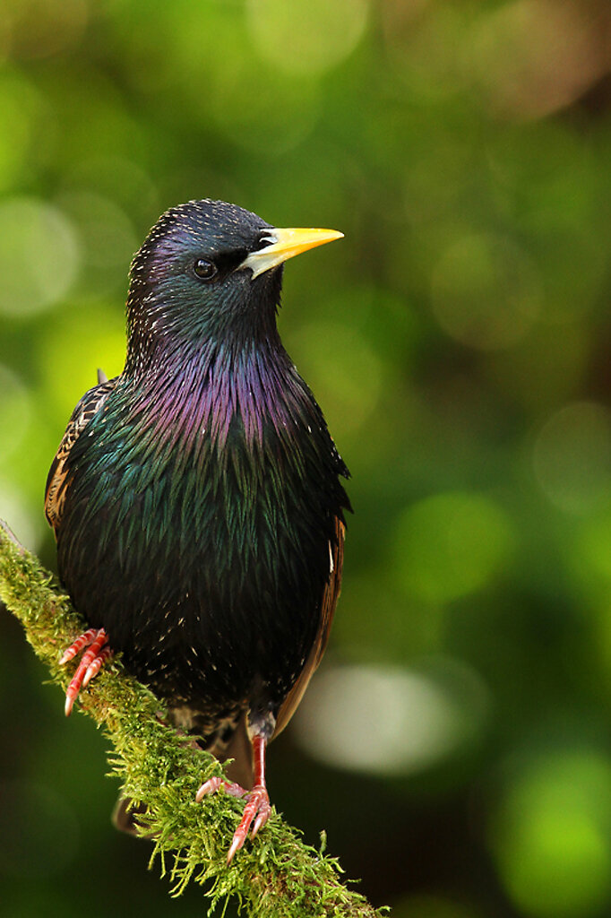Скворец,Starling_(1024)j Location: Rotherham, Photographer Alan Hinchliffe;