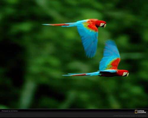 pair-macaws-sartore-643975-xl.jpg