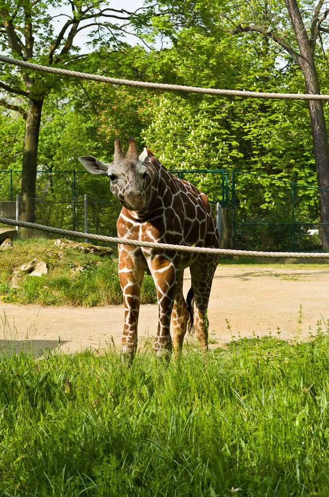 Фото 20. Жираф в зоопарке во Франкфурте