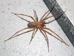 Tegenaria domestica (Clerck, 1757) - домовый паук
