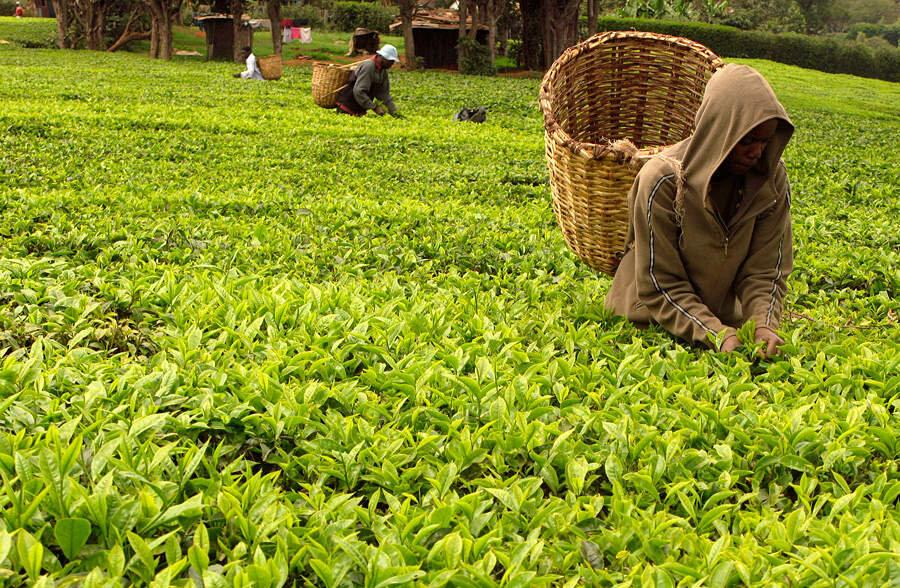 Революция в Египте обрушила мировые цены на чай
