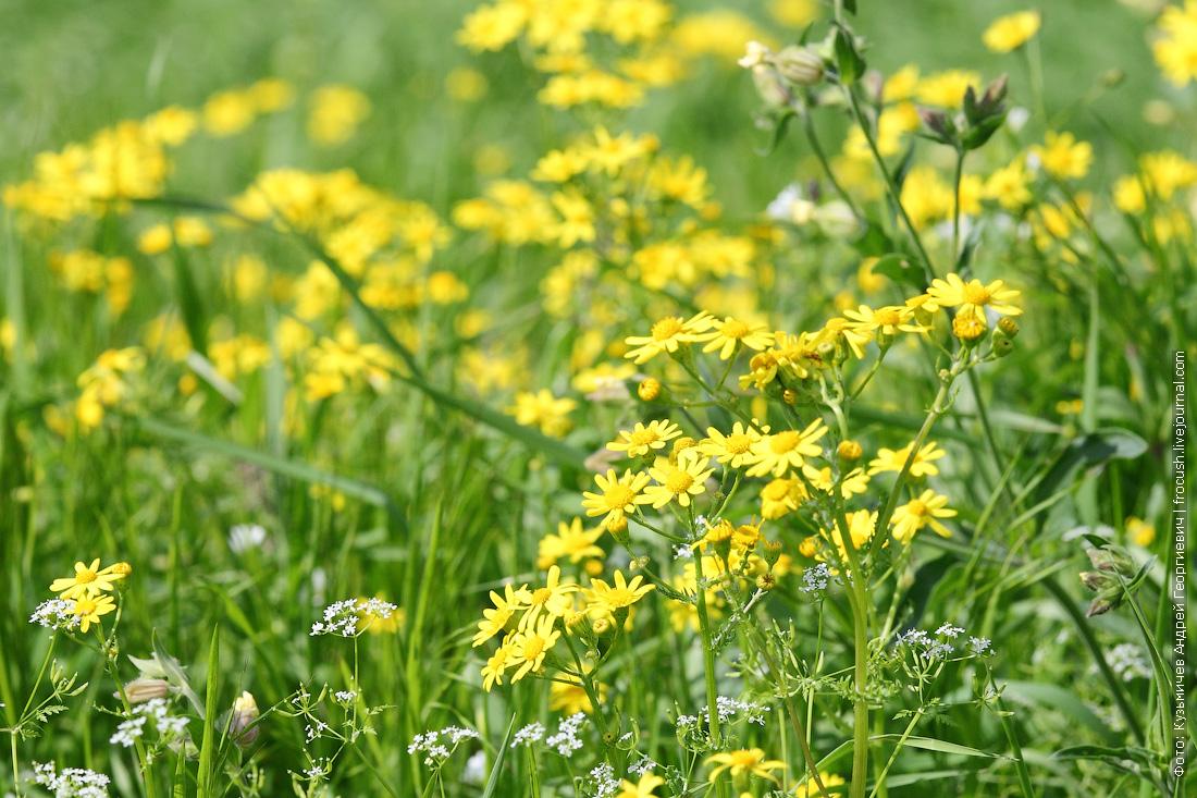 желтые цветочки
