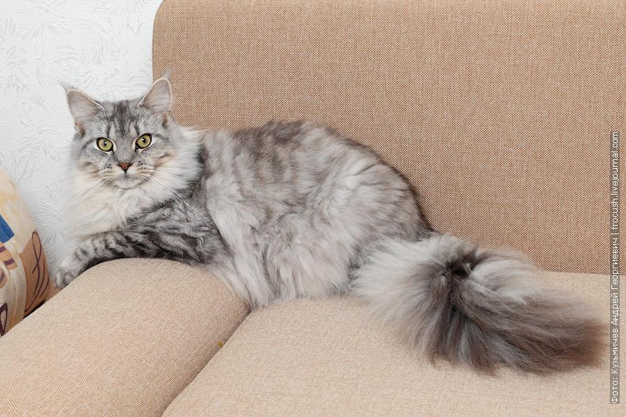 кошка серебро Мейн-кун питомник Москва