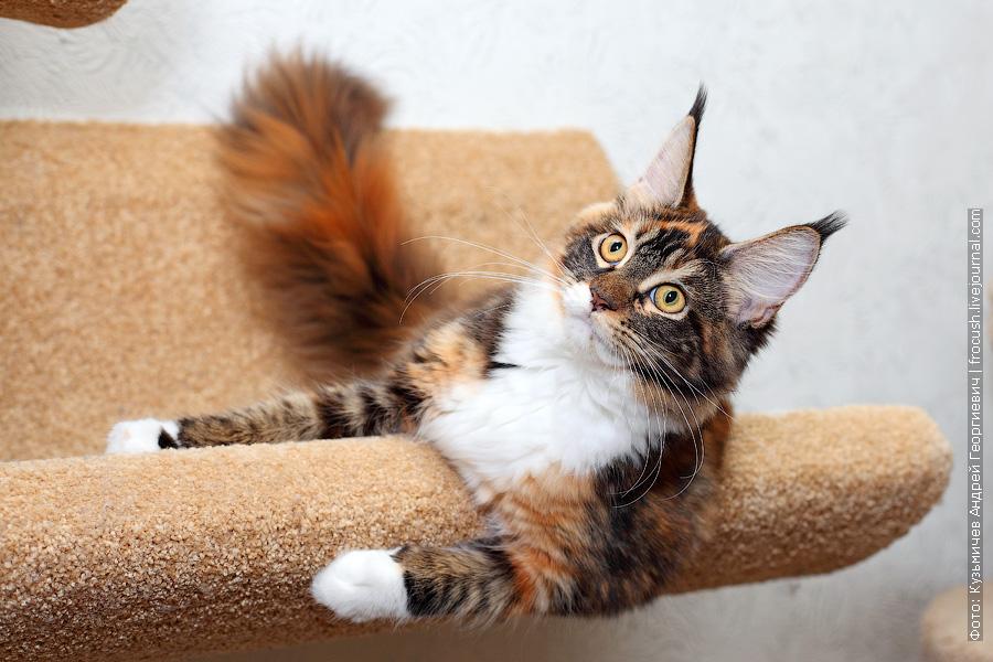 Мейн-кун кошка в питомнике