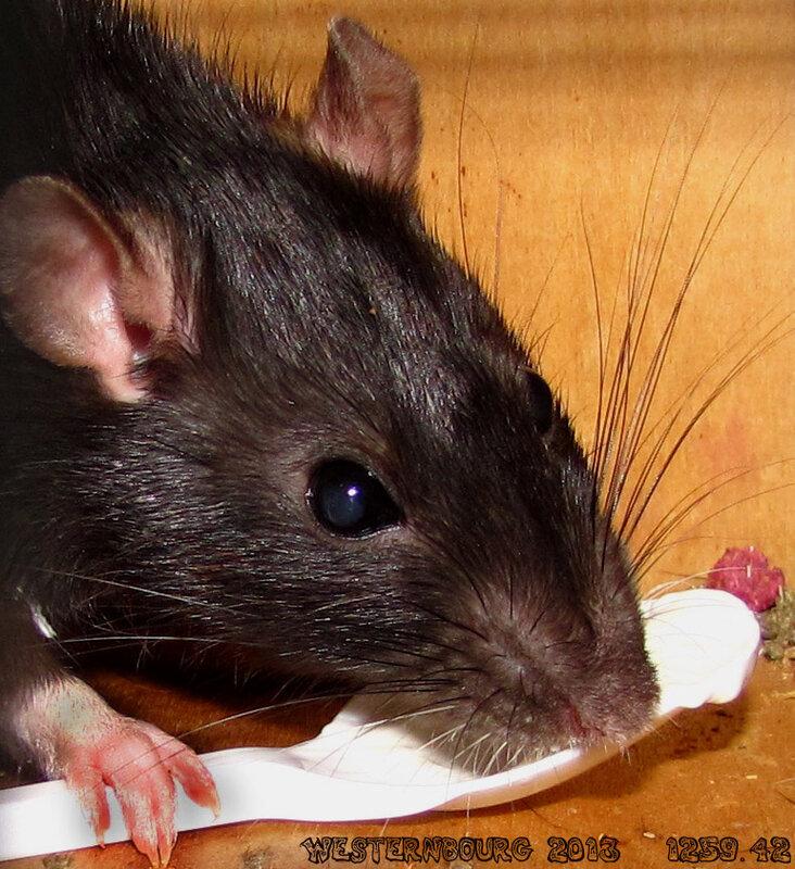 1259.42 Крыса с ложкой