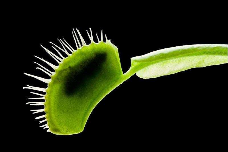 Мухолов цветок фото