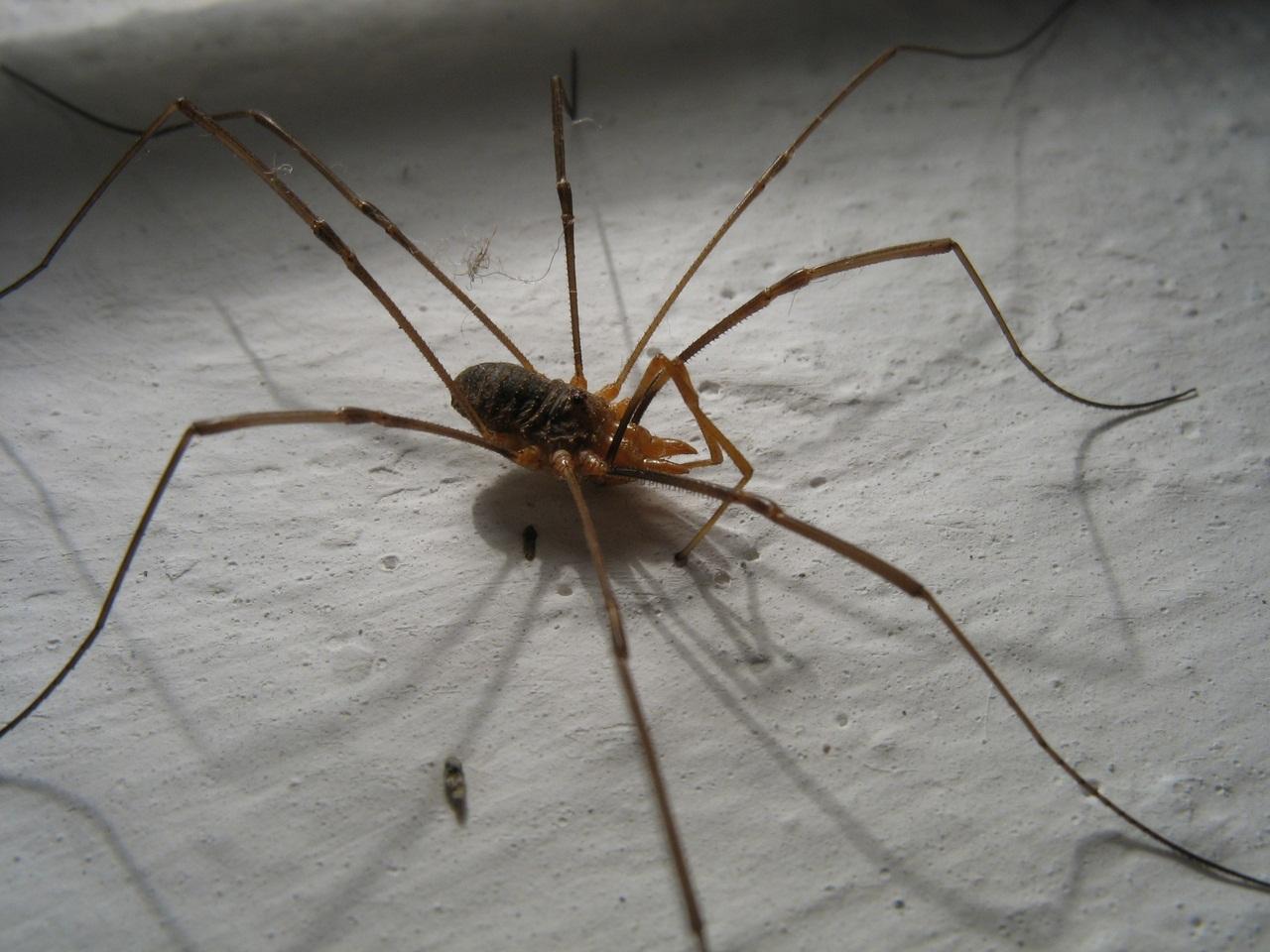 А это не пауки! Кто же тогда ?