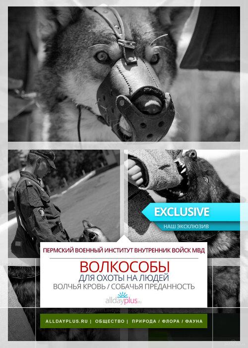 Волкособы. Волчья кровь и собачья преданность. Информация, 25 фото + текст.