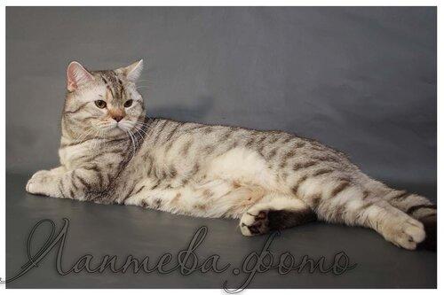 Британские котята из питомника Camelot Castle 0_ef672_c2ed8ffa_L