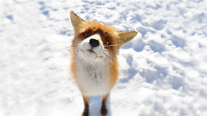 фото хитрая лисичка