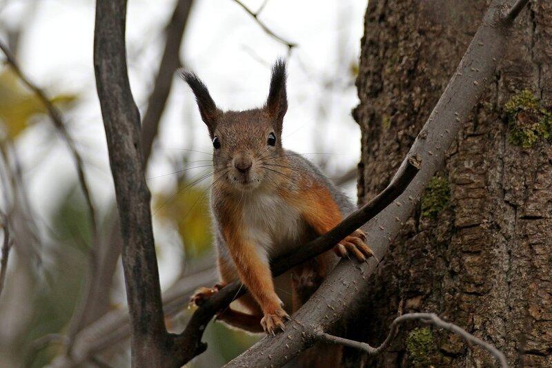 Насторожившаяся белочка на ветке дерева IMG_9869