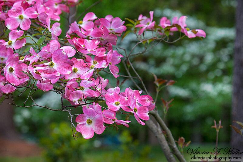 Цветут деревья Pink Dogwood_0910
