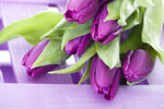 Purple tulip - Lila Tulpe
