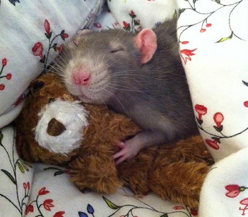 Очаровательные крыски с плюшевыми мишками