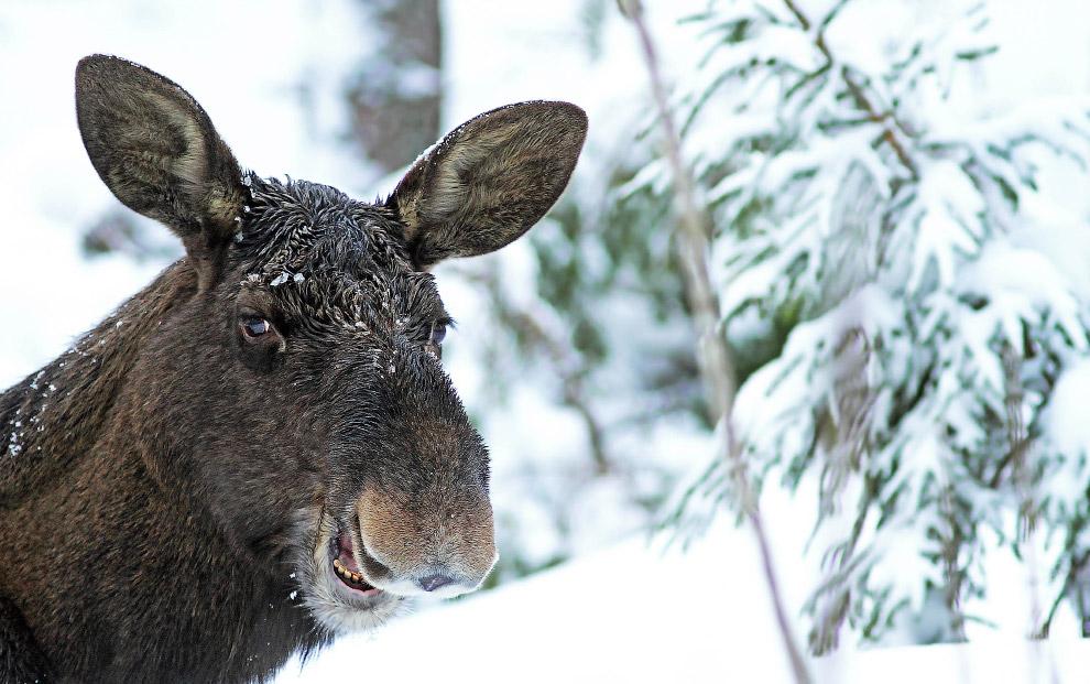 17. Дразнится. (Фото Steven Biddlecombe | Comedy Wildlife Photography Awards):