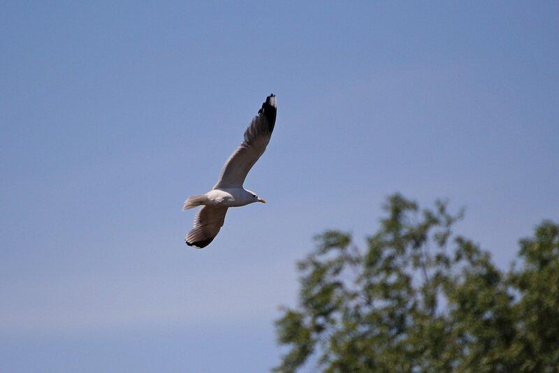 Сизая чайка (Larus canus) в полёте над Ивкиной