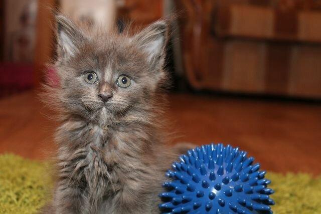 Кошка мейн-кун Жаклин