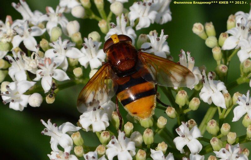 Журчалка Volucella zonaria.