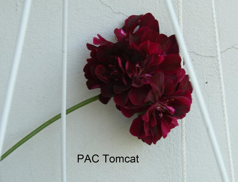 Pelargonium ivy-leaf (пеларгония плющелистная) / pac tomcat