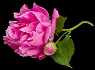 пион аромашарм
