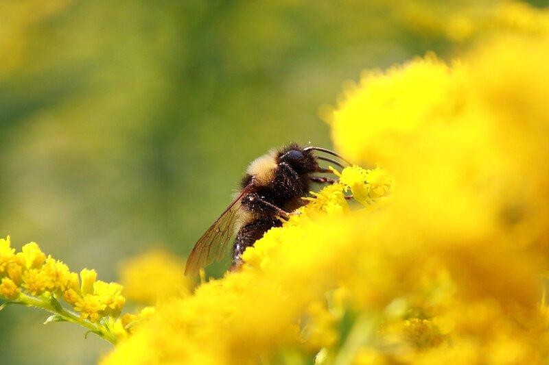 Шмель за жёлтым цветком 7029