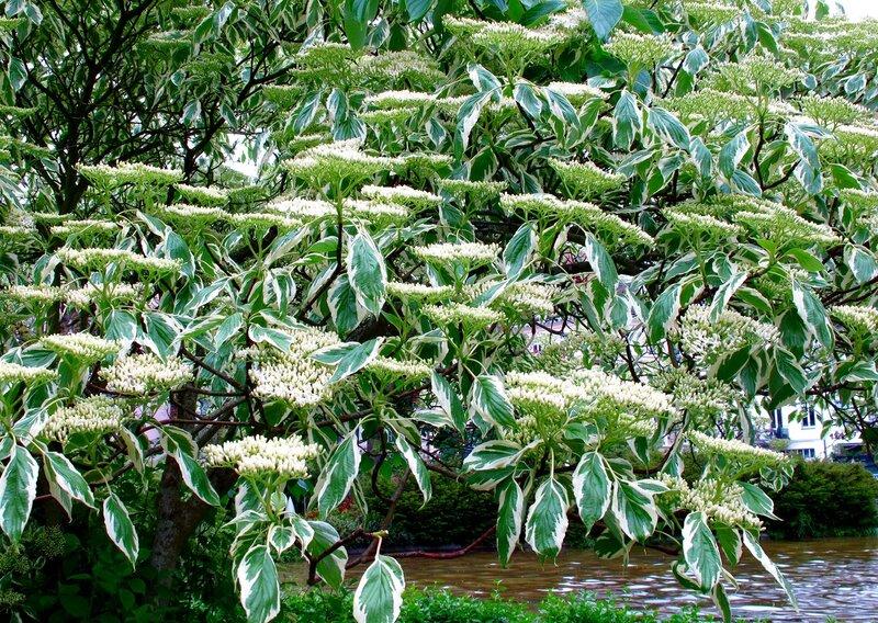 Белое цветение-Дерен пестролистный