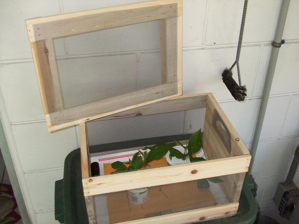 Как выращивать шелкопряд в домашних условиях