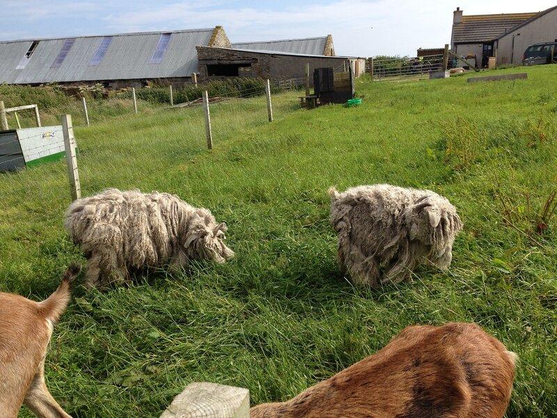 Это не коврики! Это овечки!
