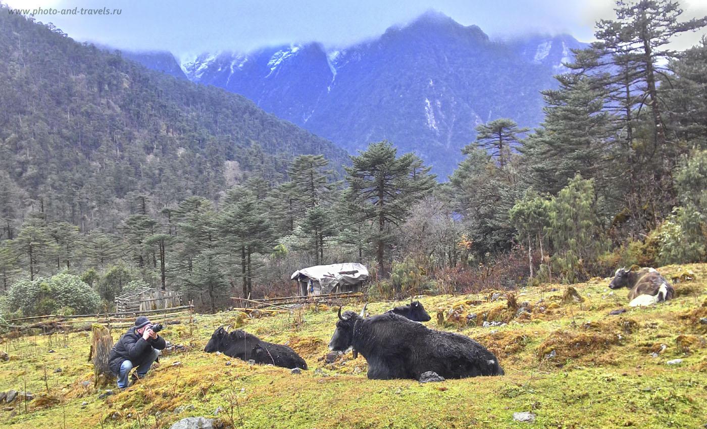 Фото 30. Самостоятельное путешествие по Индии. Фотоохота на яков в Гималаях. Отзыв об экскурсии в YumthangValley. Снято на смартфон.