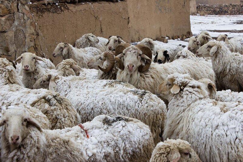 стадо овец в деревни во внутренней монголии, китай