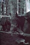 1941-10-13 Лошадь katoksessaan мало Карма на берегу пруда. 12.-13.10.1941. Примечание: Vrikuvien Брошюра информации.