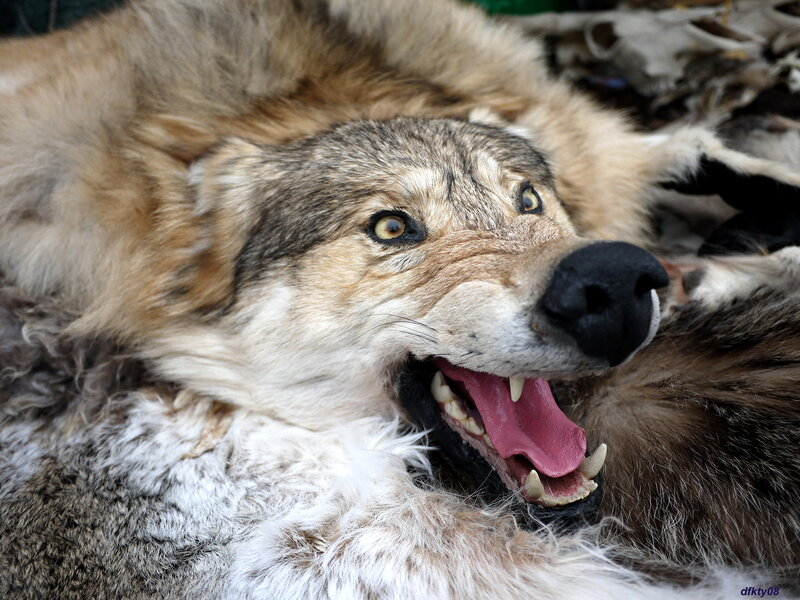 волчище